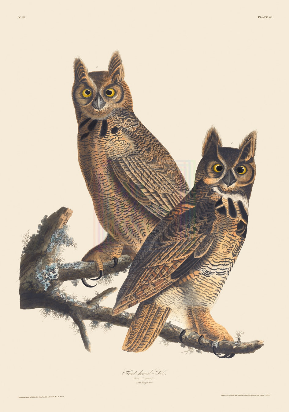 John James Audubon Print, Great Horned Owl