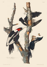 Load image into Gallery viewer, John James Audubon Print, Ivory-Billed Woodpecker