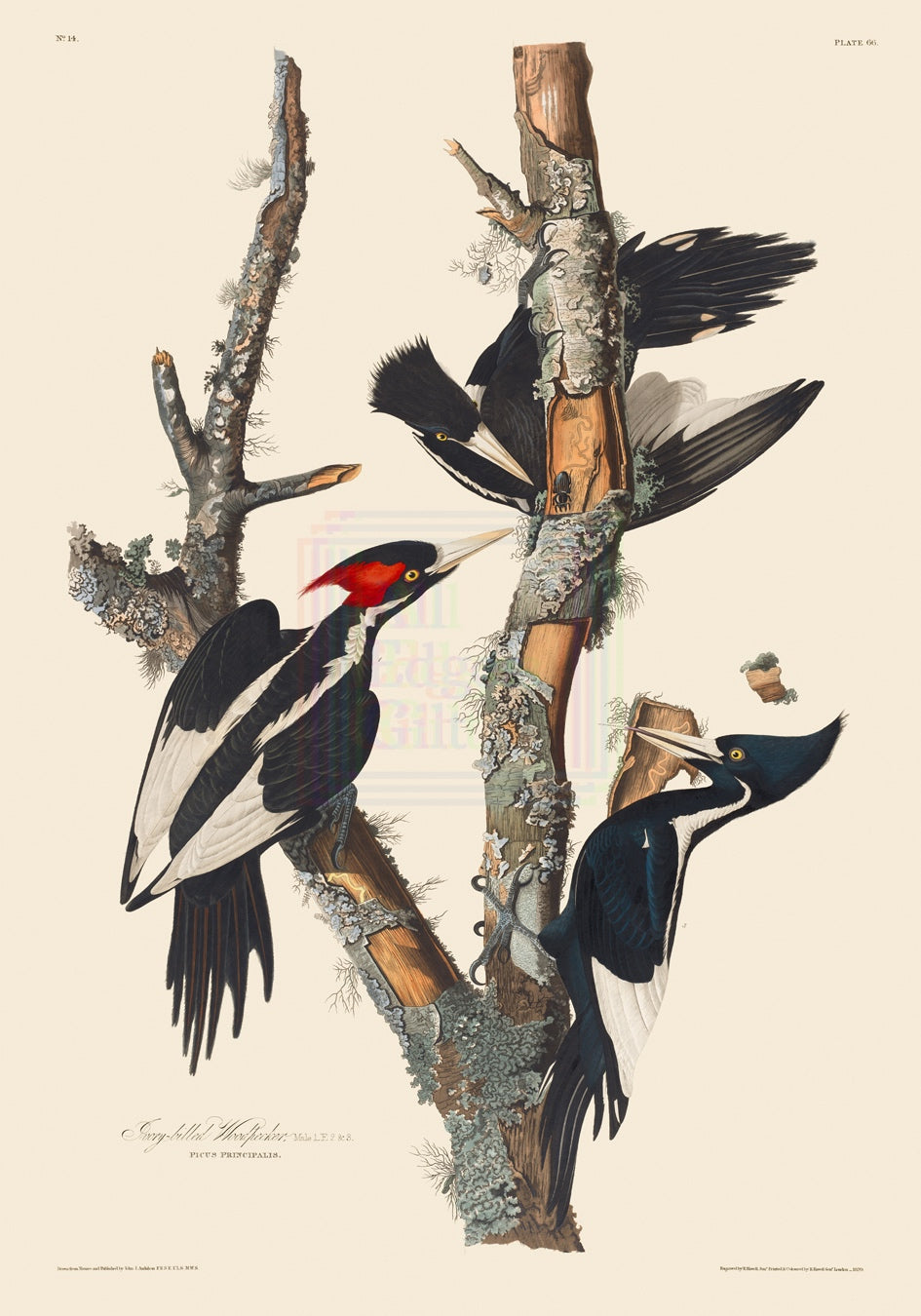 John James Audubon Museum Edition, Ivory-Billed Woodpecker