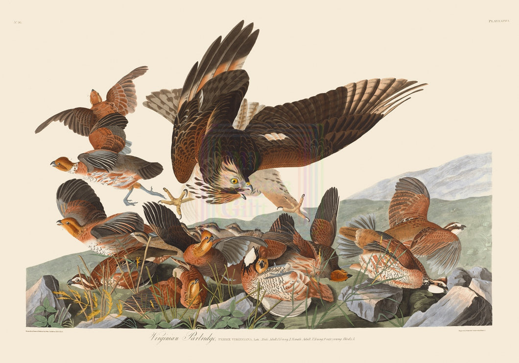 John James Audubon Museum Edition, Virginian Partridge