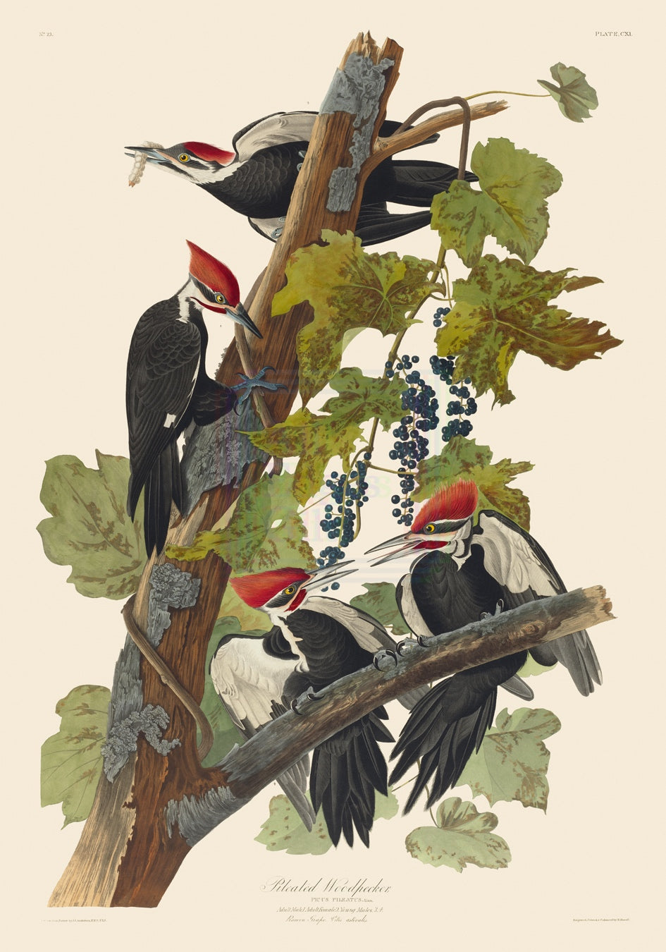 John James Audubon Print, Pileated Woodpecker