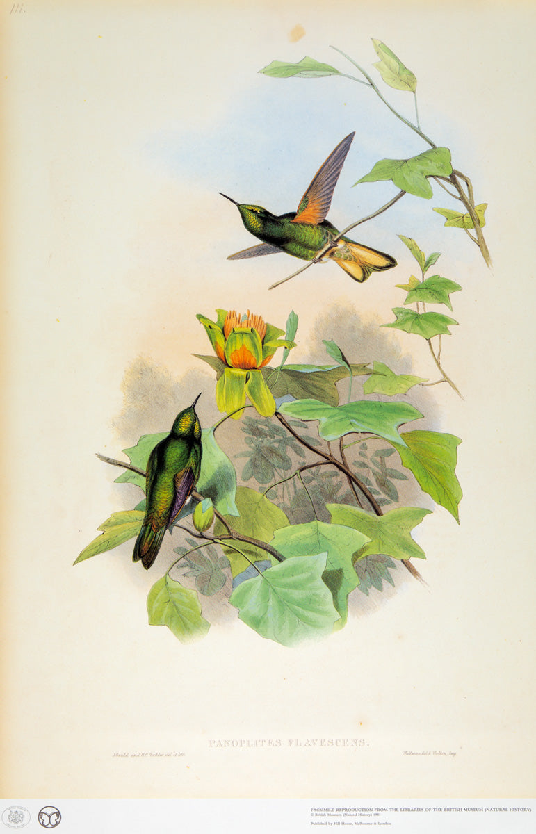 John Gould Print, Yellow-fronted Panoplites Hummingbird (Plate 111- Hill House Ed.)