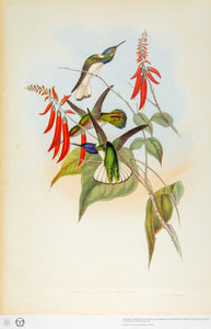 John Gould Print, Great Jacobin Hummingbird (Plate 114- Hill House Ed.)