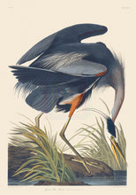 Load image into Gallery viewer, John James Audubon Print, Great Blue Heron