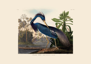 John James Audubon Museum Edition, Louisiana Heron