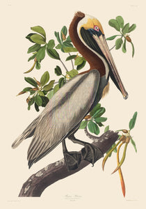 John James Audubon Print, Brown Pelican (II)
