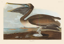 Load image into Gallery viewer, John James Audubon Print, Brown Pelican