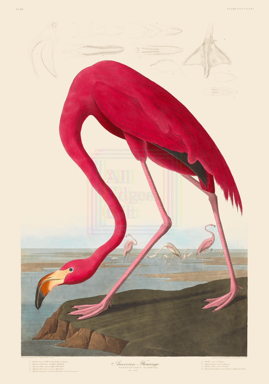 John James Audubon Print, American Flamingo