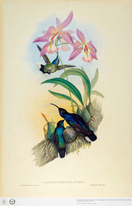 John Gould Print, Violet Sabrewing Hummingbird (Plate 45- Hill House Ed.)