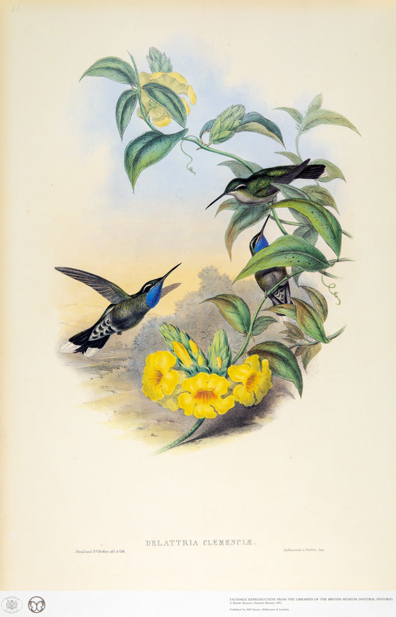 John Gould Print, Blue-Throated Cazique Hummingbird (Plate 60- Hill House Ed.)