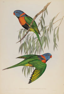 John Gould Print, Red-collared Lorikeet (Plate 49 - Hill House Ed.)