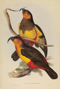 John Gould Print, Philip Island Parrot (Plate 06 - Hill House Ed.)