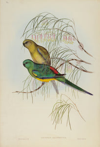 John Gould Print, Red-backed Parakeet (Plate 36 - Hill House Ed.)