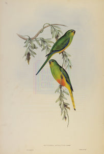John Gould Print, Orange-bellied Grass-Parakeet (Plate 39 - Hill House Ed.)