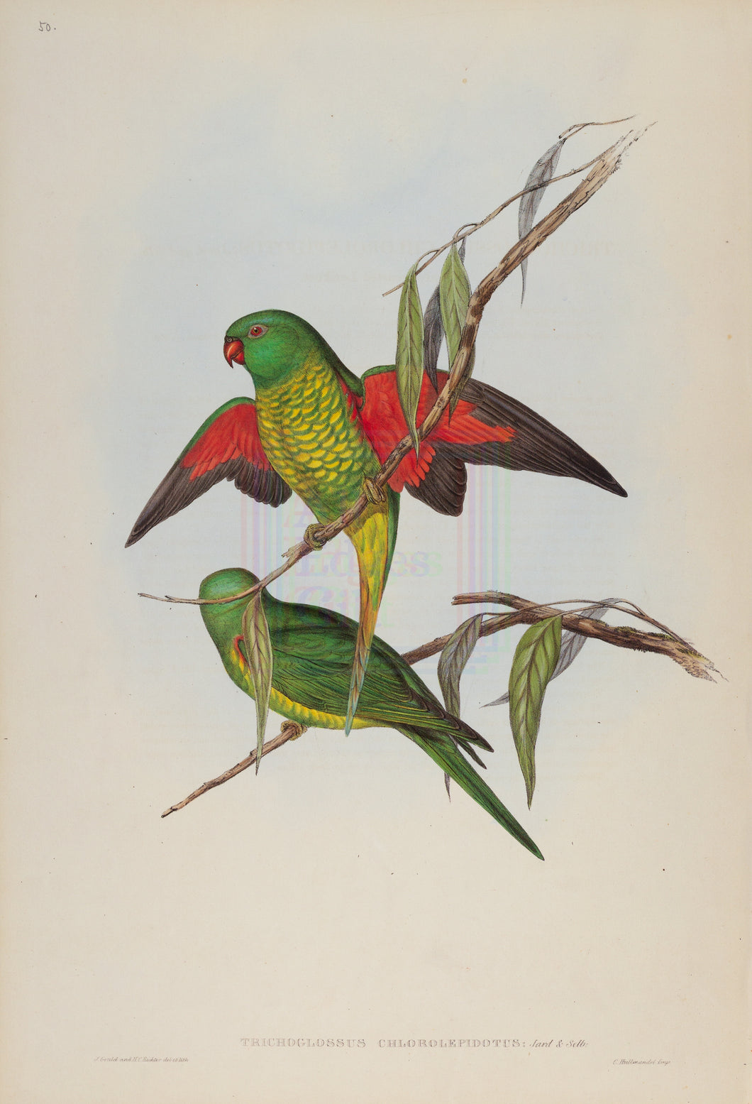 Scaly-Breasted Lorikeet