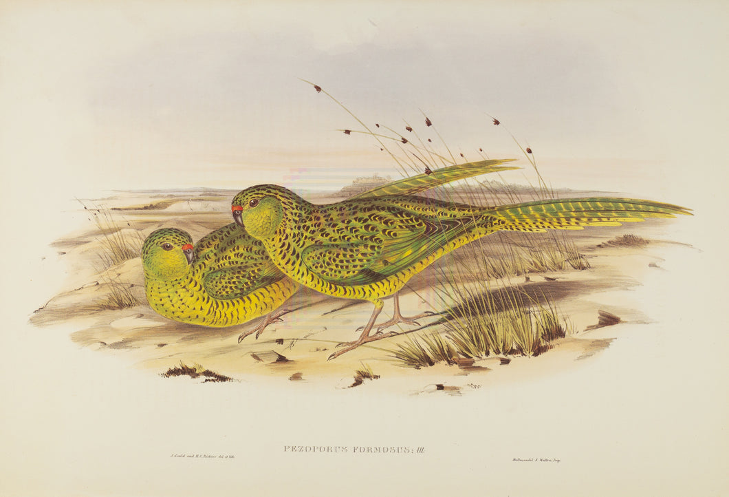 Ground Parakeet