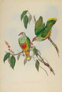 John Gould Print, Swainson's Fruit Pigeon (Plate 55 - Hill House Ed.)