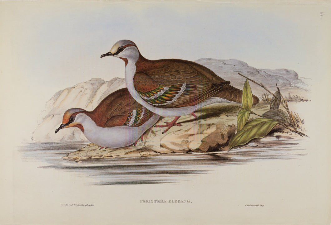 John Gould Print, Bush Bronze-winged Pigeon (Plate 65 - Hill House Ed.)