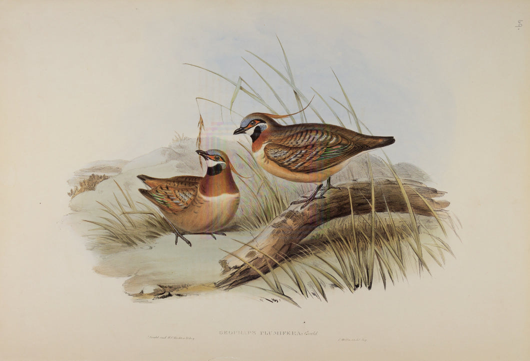 John Gould Print, Plumed Partridge Bronze-wing (Plate 69 - Hill House Ed.)