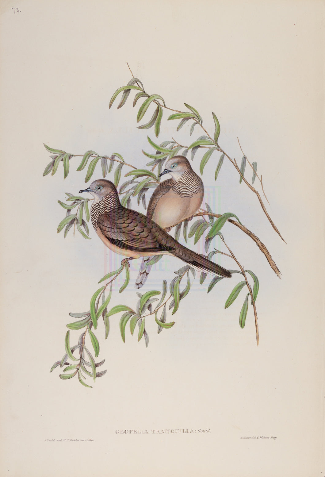 John Gould Print, Peaceful Ground Dove (Plate 73 - Hill House Ed.)