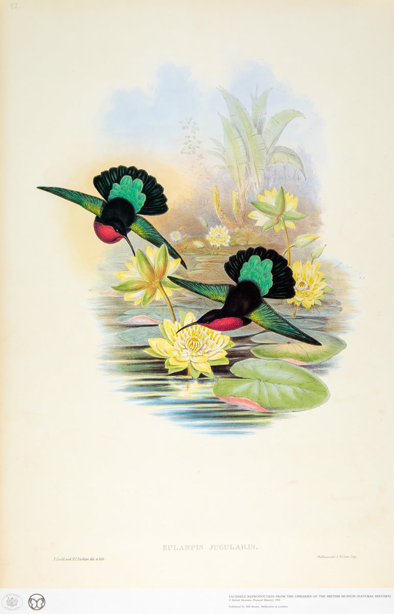 John Gould Print, Purple-Breasted Carib Hummingbird (Plate 82- Hill House Ed.)
