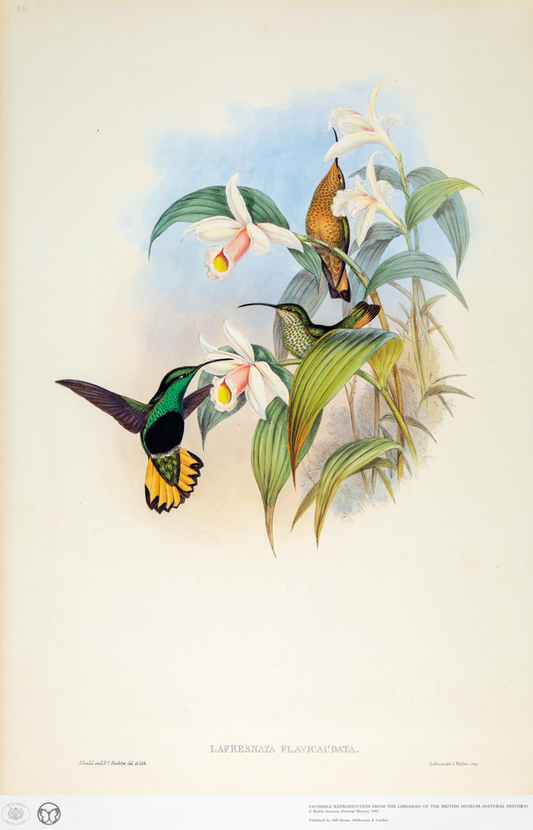 John Gould Print, Buff-tailed Velvet Breasted Hummingbird (Plate 85- Hill House Ed.)
