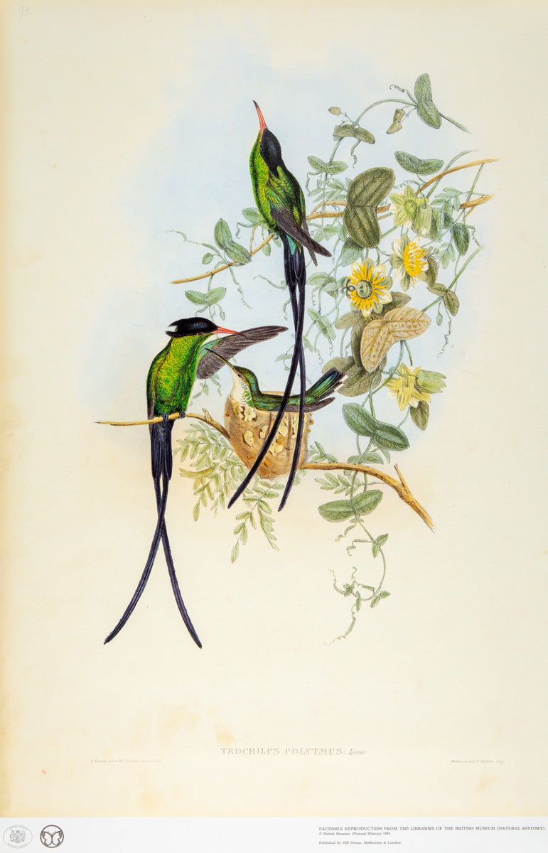 John Gould Print, Black-Capped Hummingbird (Plate 98 - Hill House Ed.)
