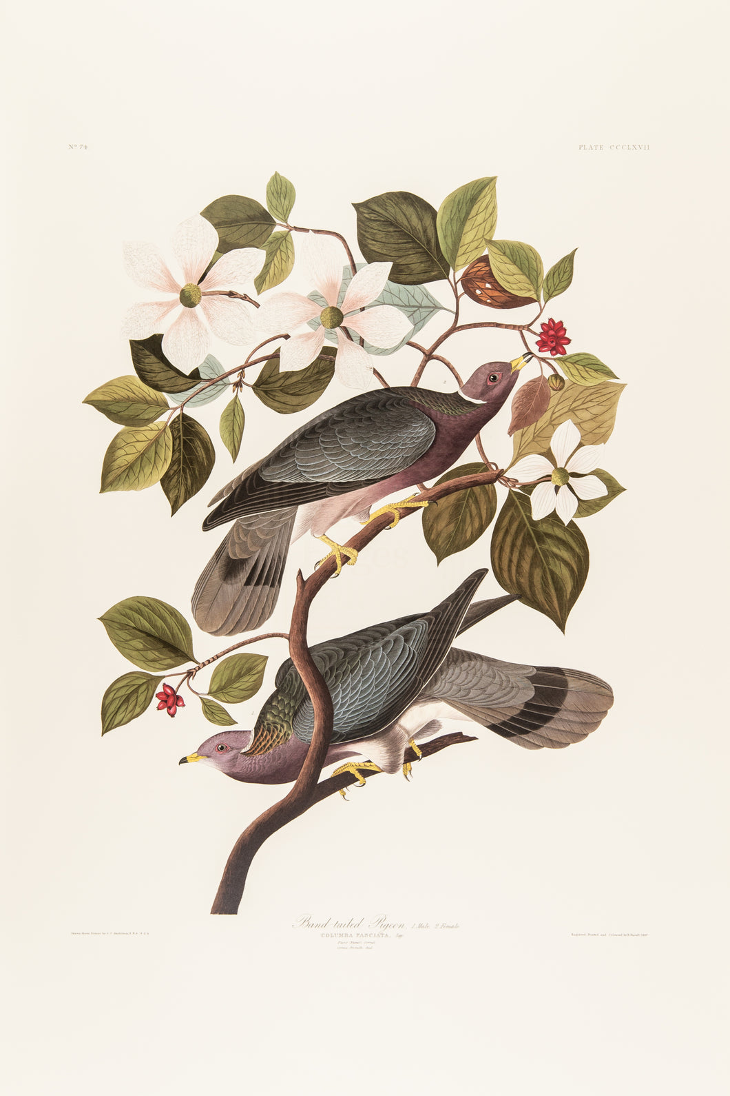 Band-Tailed Pigeon