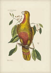 Parrot of Paradise or Red Wood