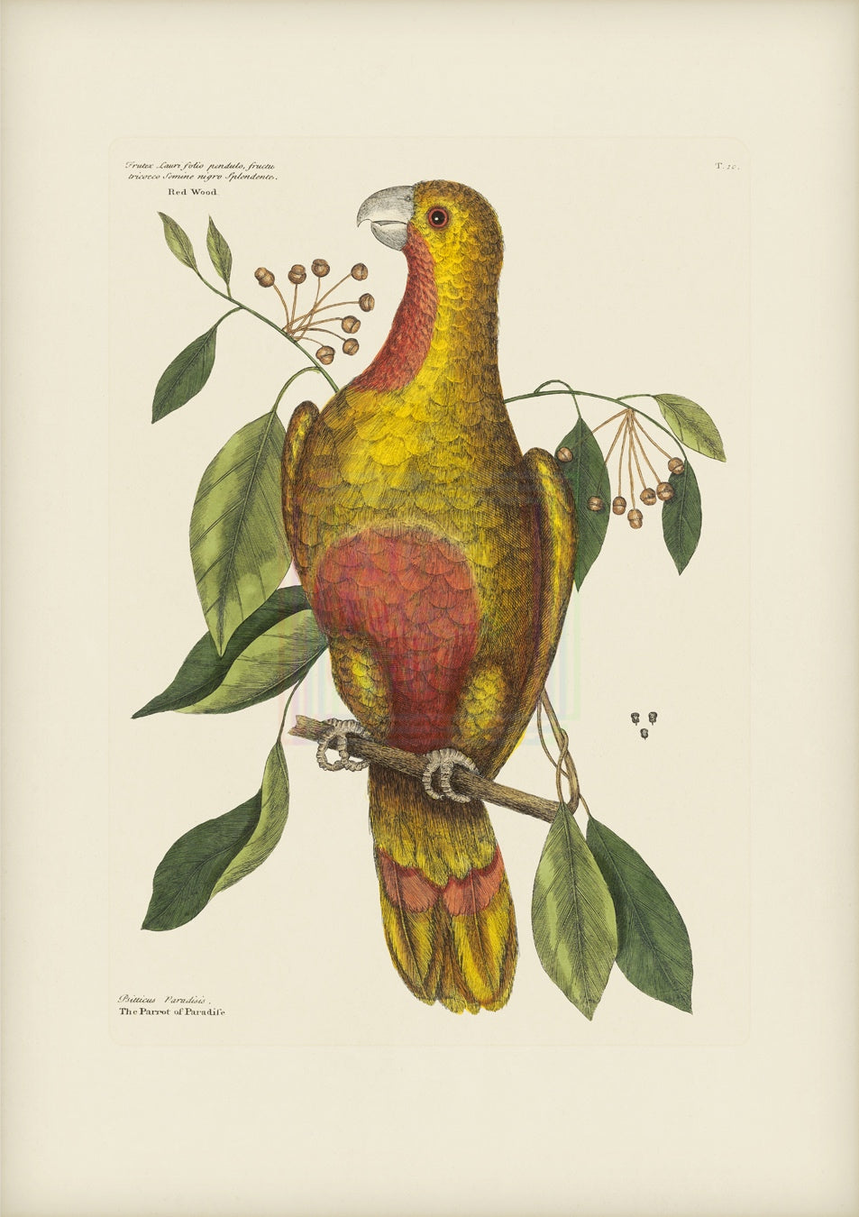 Mark Catesby Print, Parrot of Paradise or Red Wood - Plate 10