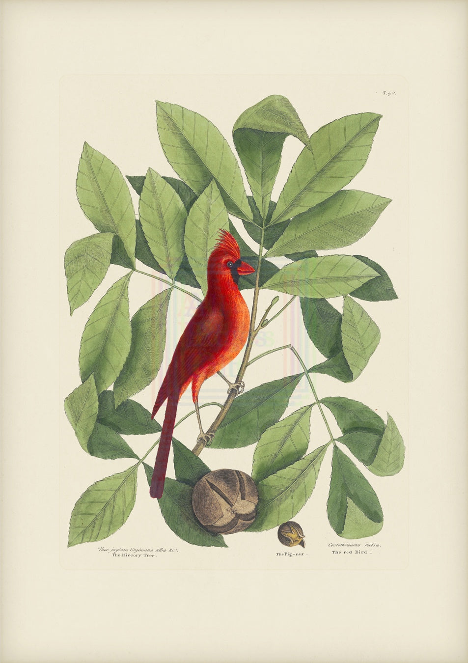 Mark Catesby Print, Red Bird - Plate 38