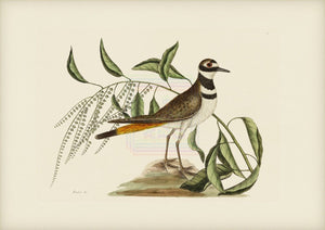 Mark Catesby Print, Chattering Plower - Plate 71