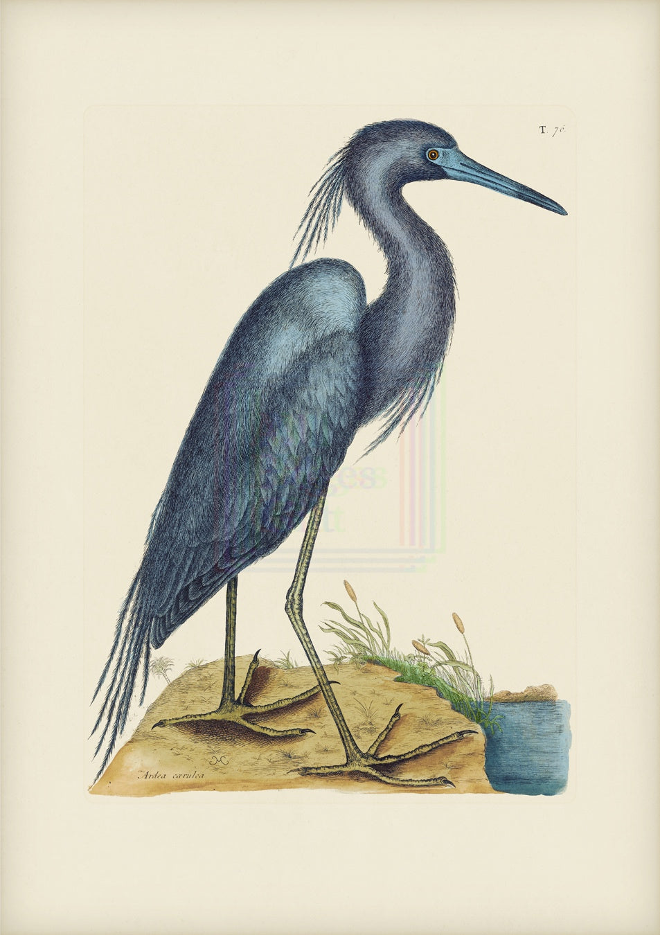 Mark Catesby Print, Little Blue Heron - Plate 76