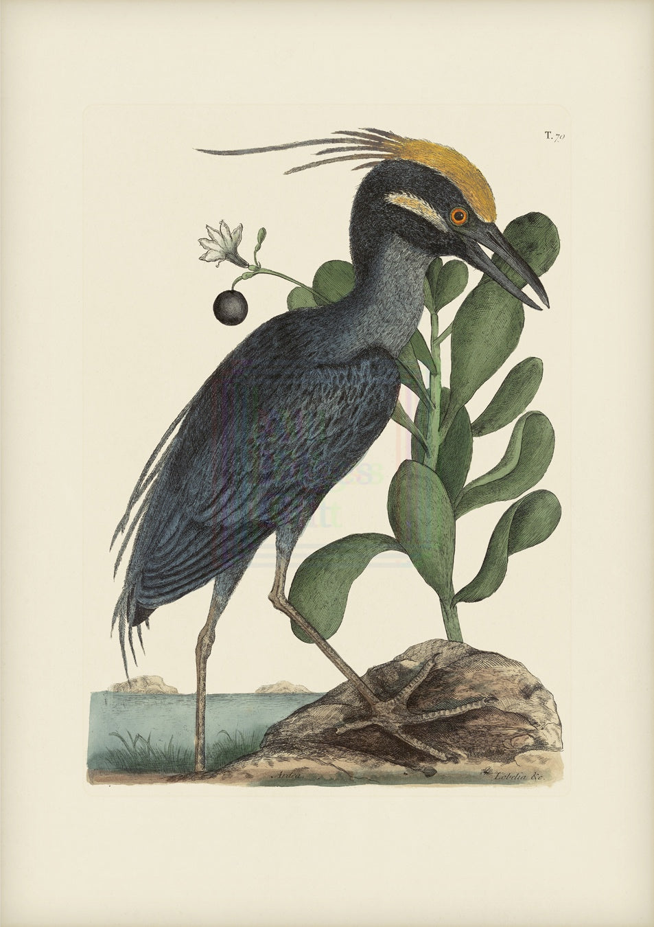 Mark Catesby Museum Edition, Crested Bittern - Plate 79