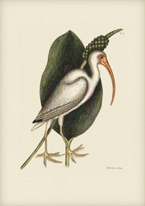 Mark Catesby Print, White Curlew - Plate 82