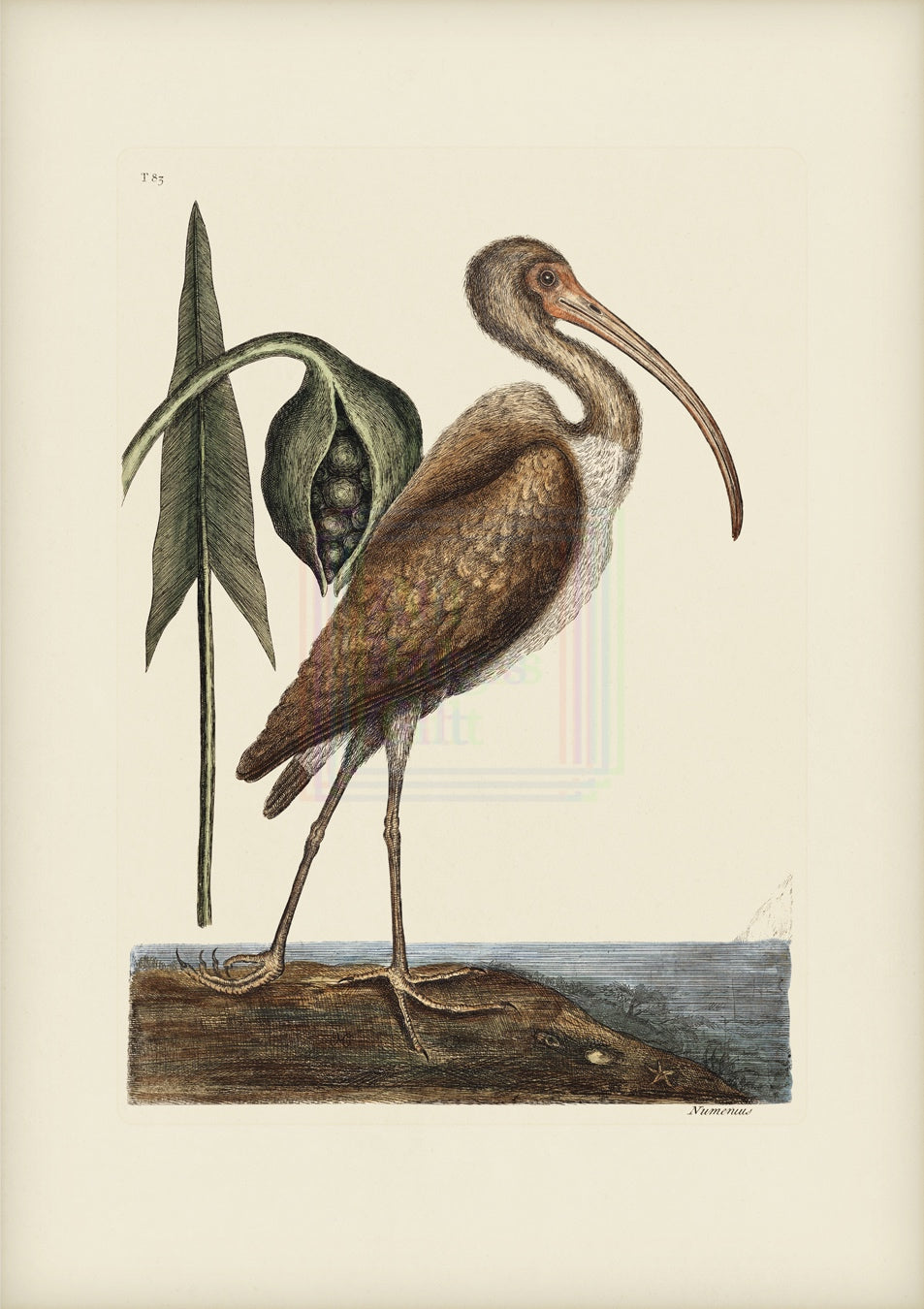 Mark Catesby Print, Brown Curlew - Plate 83