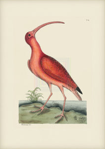 Mark Catesby Museum Edition, Red Curlew - Plate 84