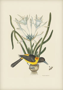 Mark Catesby Museum Edition, Yellow and Black Pye - Plate 209