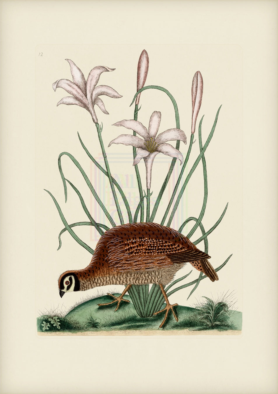 Mark Catesby Print, Partridge or Bob White - Plate 216