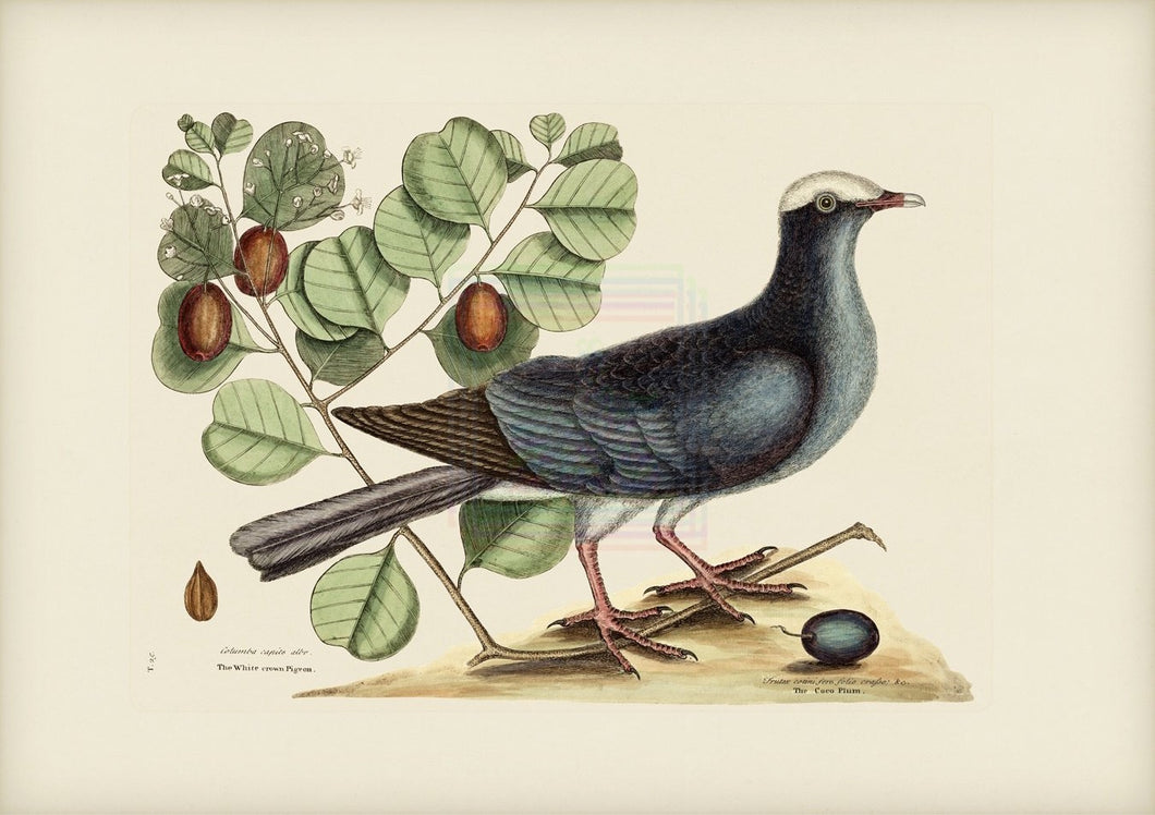 Mark Catesby Print, White Crown Pigeon - Plate 25