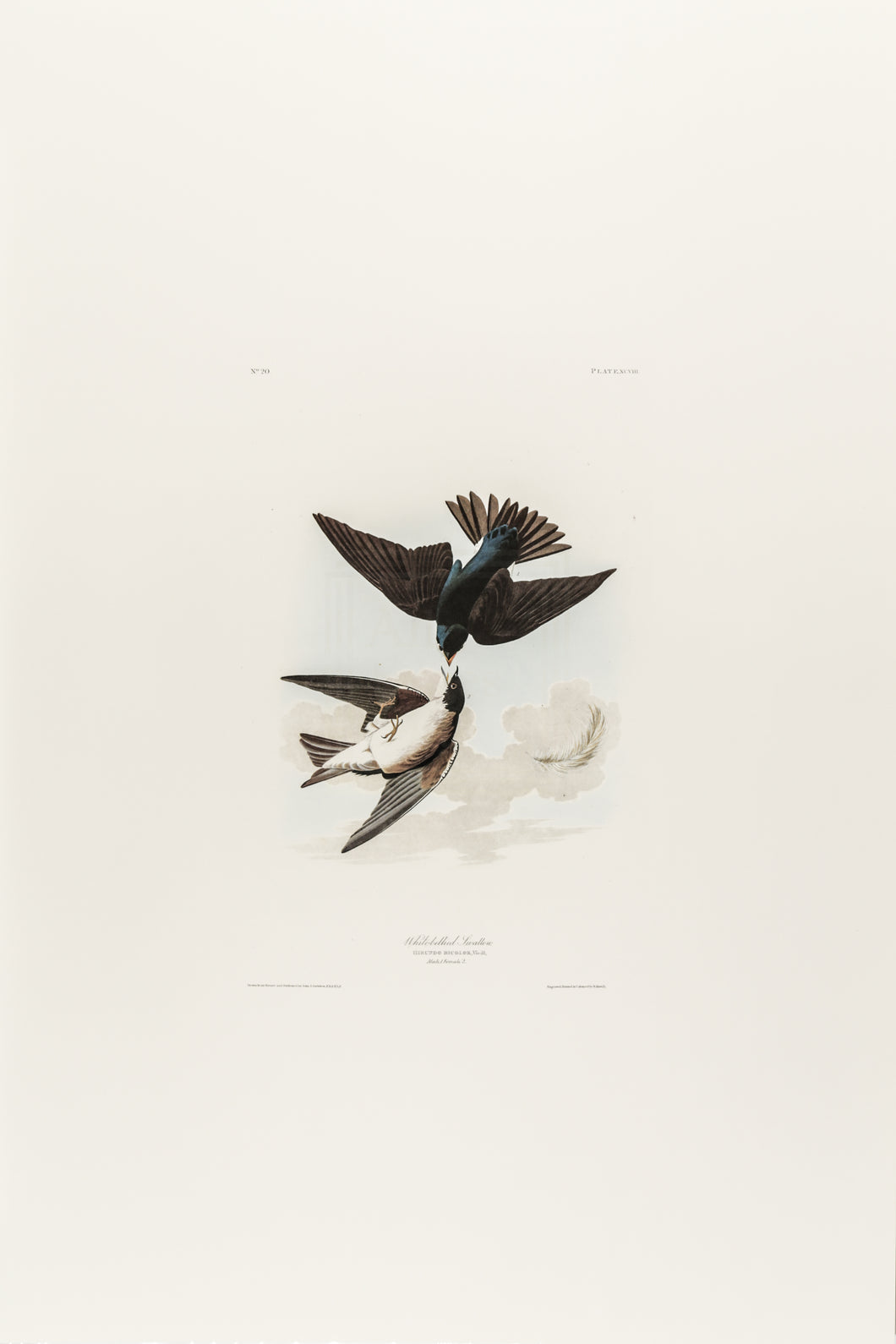 White-Bellied Swallow