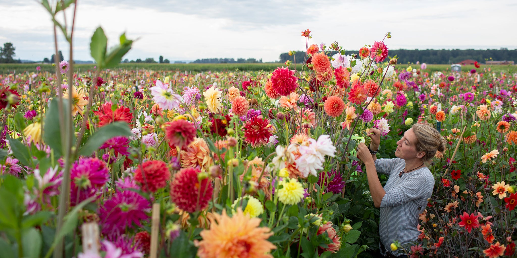 Author Erin Benzakein cutting dahlias in a field