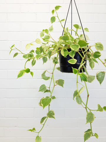 Peperomia Scandens hanging plant