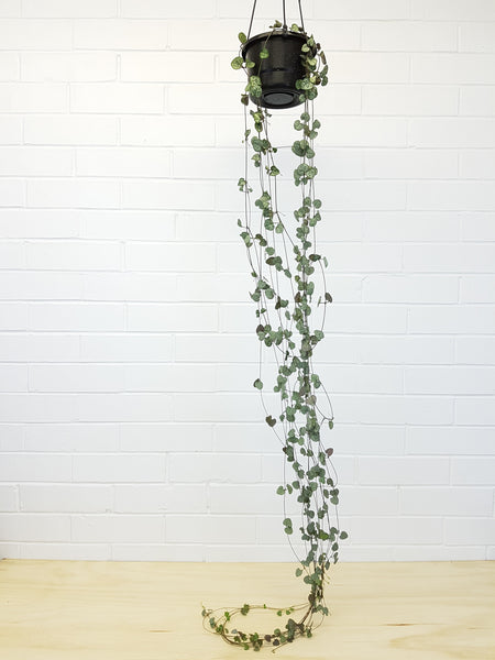 Chain of Hearts hanging plants