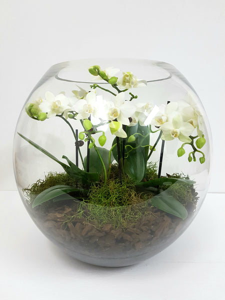 Mini Phalaenopsis Orchid Plants In Giant Glass Bowl