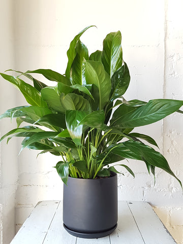 Peace Lily Plant in Black Ceramic Planter