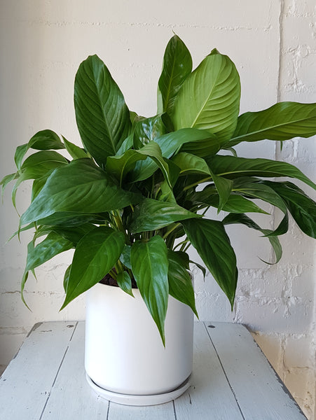 Peace Lily Plant in White Ceramic Planter