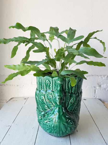 Phlebodium Plant in Green Peacock Planter