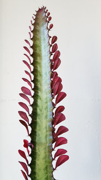 Euphorbia Trigona Purpurea Plant in Black Ceramic Planter