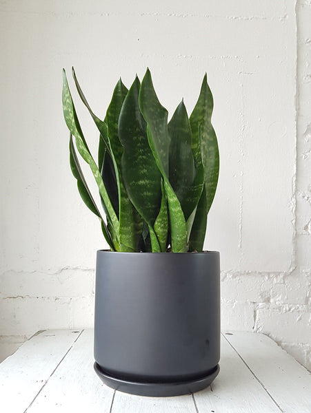 Sansevieria  plant in Black Ceramic Planter